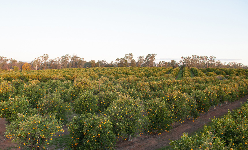 KF-orchard